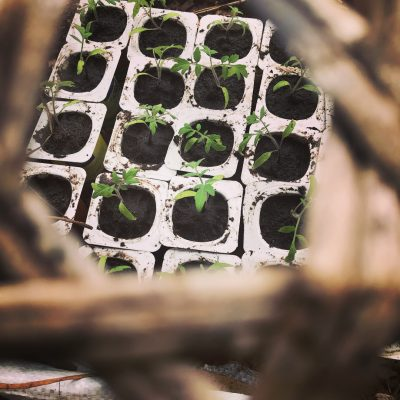 tomates-ecosite ioniala